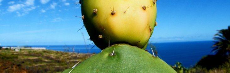 canarische, eilanden, spanje, kaktus